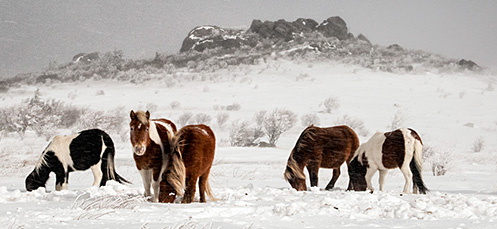 pony-herd-in-snow