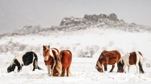 herd of ponies in the snow