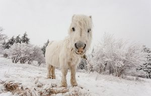 pony in snow