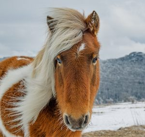 headshot of pony with blonde mane