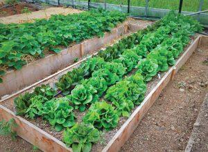 At High Rocks Educational Corporation in Pocohontas County, W.Va., youth help raise beds of lettuce.  Photo courtesy Grow Appalachia