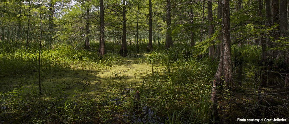 bottomland_forest_by_Grant_Jefferies