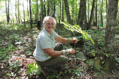 digging black cohosh