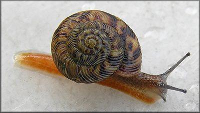 An Appalachian tiger snail.