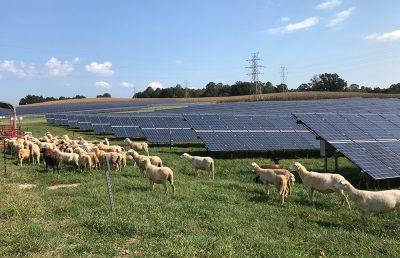 Sheeps grazing next to solar panels