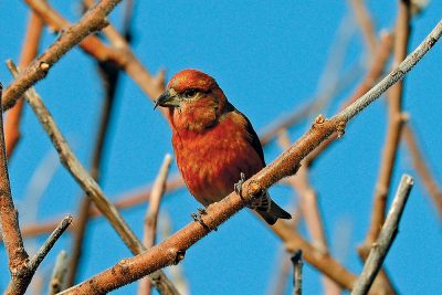 A Red Crossbill
