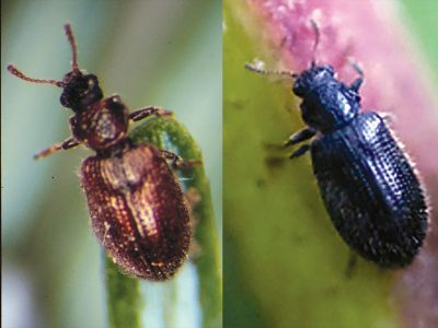 predator beetles