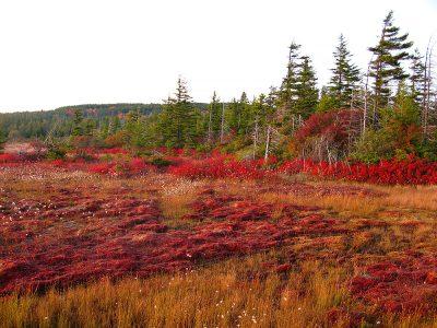 Bog_cranberry-glades