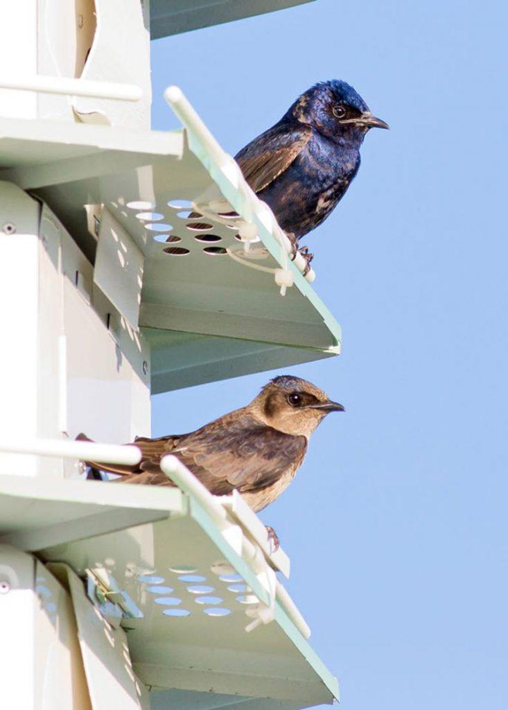 Purple Martins birds
