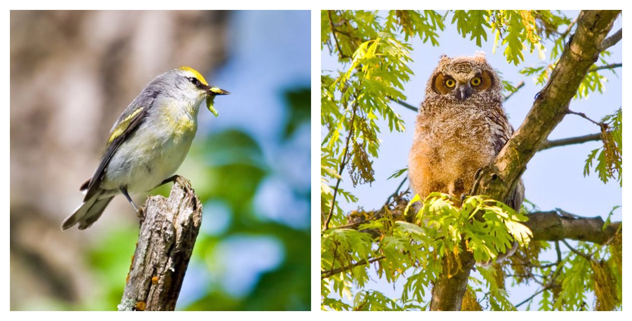 Brewster's warbler and great horned owl chick