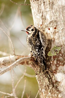 yellow-bellied sapsucker bird