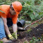 man planting spruce tree