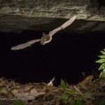 Virginia Big-Eared Bat