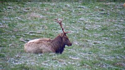 elk bull sitting on the ground