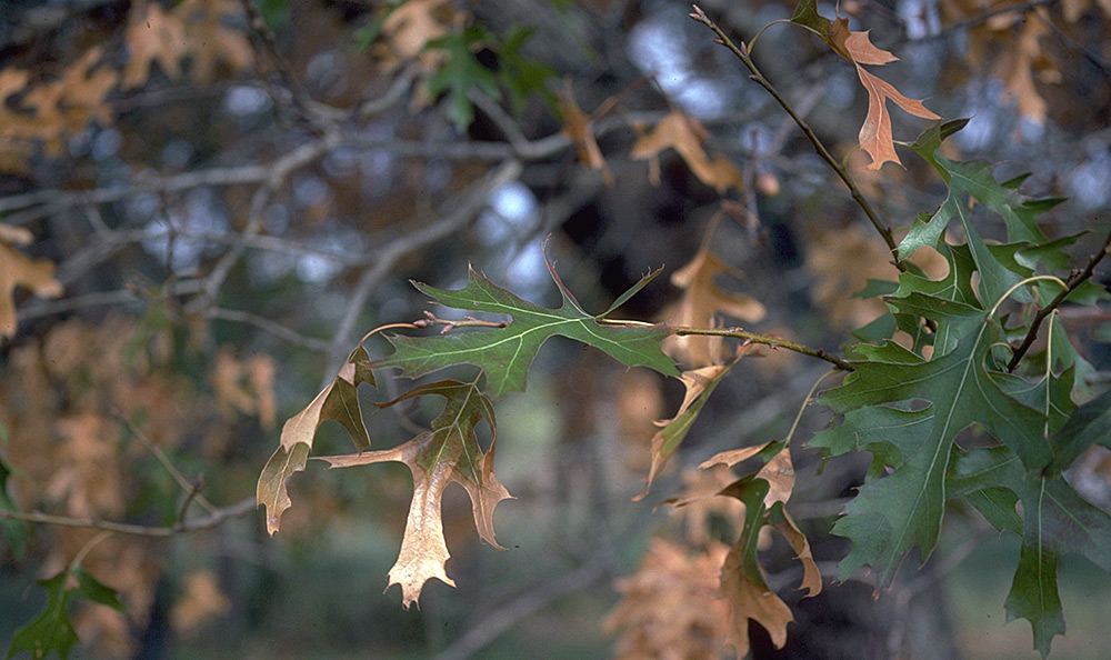 dying oak leaves