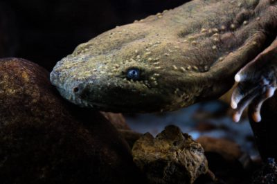 Hellbender head looking at the camera