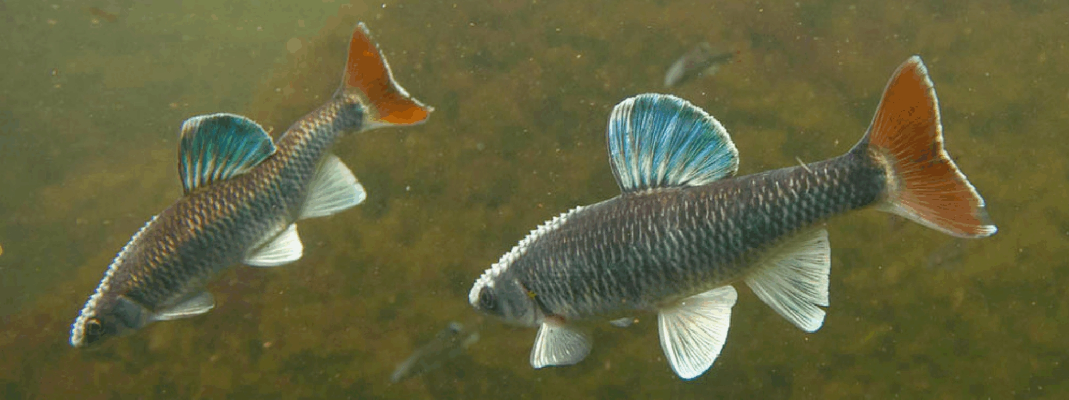 two small fish with blue and orange fins
