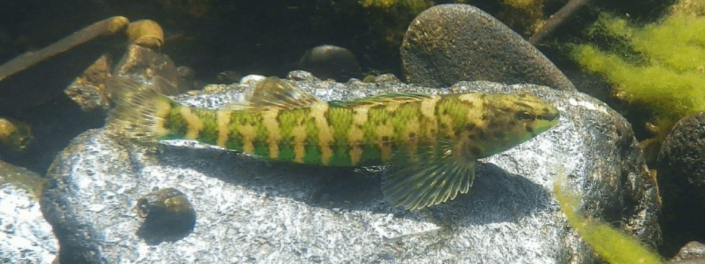 A long, narrow fish with a yellow body, bright green stripes and translucent green fins