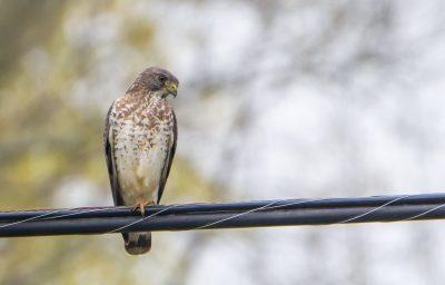 broad-winged hawk on power line