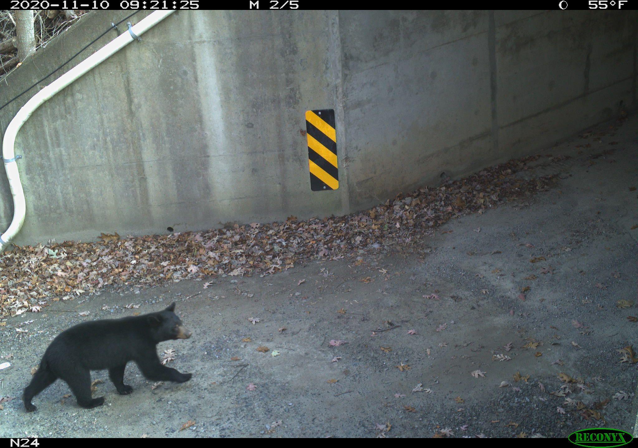 A bear walks toward a highway underpass
