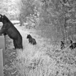 bears at guardrail