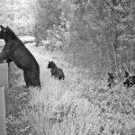 bears at guardrail