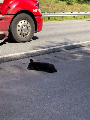 dead bear cub by road