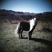 A wild pony of Grayson Highlands. Photo by Katie Boyette