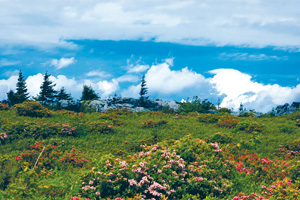 Flowers bloom at Dolly Sods. Photo by Jaime Pettry.