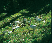 Goats have been used to graze as small a plot as 12 by 60 foot backyards and as large as 20,000 acres. Photo courtesy of Brian Knox.