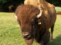 Jerry Nelon currently has about 70 head of free-roaming bison on his farm in Polk Country, N.C. Photo by Robin Nelon