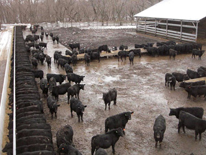 A Cafo, or concentrated animal feeding operation.