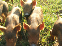 The pigs at Buffalo Creek Farm are spoiled with open space to forage and nest. Photo courtesy of Bill Jones.