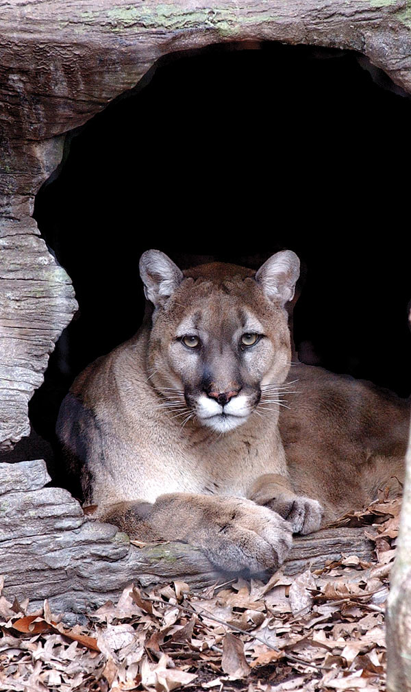 eastern puma research network